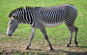 800px-Equus_grevyi_(aka)